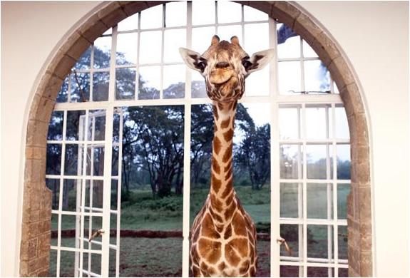 img_giraffe_manor_nairobi_2.jpg